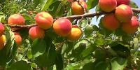 Βερικοκιά-Καλλιέργεια