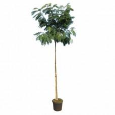 Ακακία Κωνσταντινουπόλεως Δέντρο (Albizia julibrissin)
