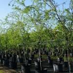 Γαζίες Δέντρα (Ακακία Φαρνεζιανή - Acacia farnesiana) | Φυτά