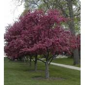 Δέντρα Οπωροφόρα - Δέντρα Κήπου & Τοπίου