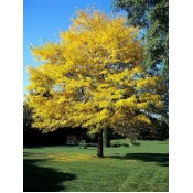 Καλλωπιστικά Δέντρα