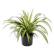 Χλωρόφυτο Πανασέ (Chlorophytum comosum 'Variegatum') | kipogeorgiki.gr