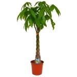 Παχίρα (Pachira Aquatica) ή Δέντρο Χρήματος