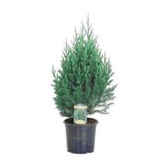 Ορθόκλαδος Γιουνίπερος Στρίκτα (Juniperus chinensis 'Stricta')