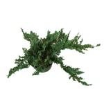 Γιουνίπερος Έρπων Πφιτζεριάνα (Juniperus x pfitzeriana)