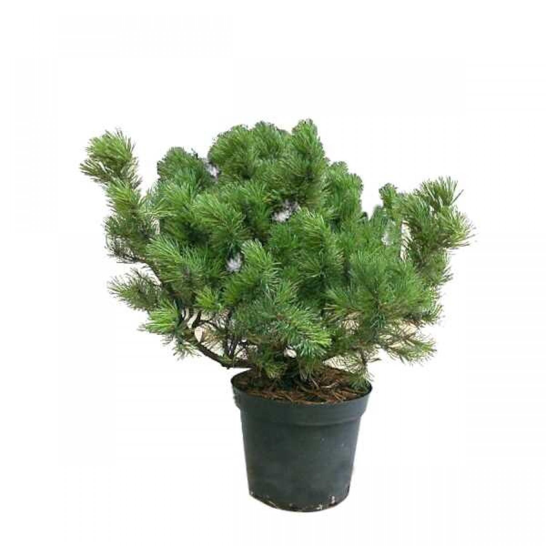Πεύκα Μούγκο (Pinus mugo)
