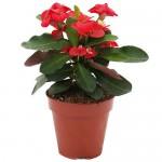 Αγκάθια του Χριστού ή Ευφόρμπια (Euphorbia milii) Φυτά