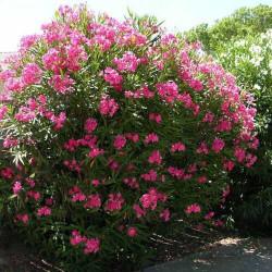 Θάμνοι - Φυτά Κηποτεχνίας