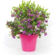 Πολύγαλα Θάμνος (Polygala myrtifolia) - Πολύγαλα Φυτό