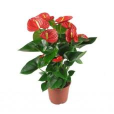 Ανθούριο (Anthurium andraeanum) | kipogeorgiki.gr