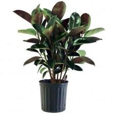 Φίκος Ελάστικα (Ficus elastica) ή Ελαστικοφόρος Φίκος | kipogeorgiki.gr