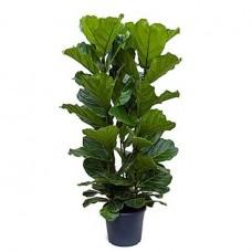 Φίκος Λυράτα (Ficus lyrata) | kipogeorgiki.gr