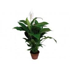 Σπαθίφυλλο (Spathiphyllum wallisii)   kipogeorgiki.gr