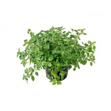 Ρίγανη η Κοινή (Origanum vulgare)  Αρωματικός - Φαρμακευτικός Θάμνος | kipogeorgiki.gr
