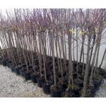 Αμυγδαλιές Δέντρα (Prunus dulcis) | kipogeorgiki.gr