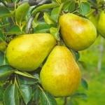 Αχλαδιά Δέντρο (Pyrus communis) | kipogeorgiki.gr