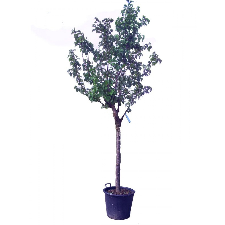 Βερικοκιά Δέντρο (Prunus armeniaca) | kipogeorgiki.gr