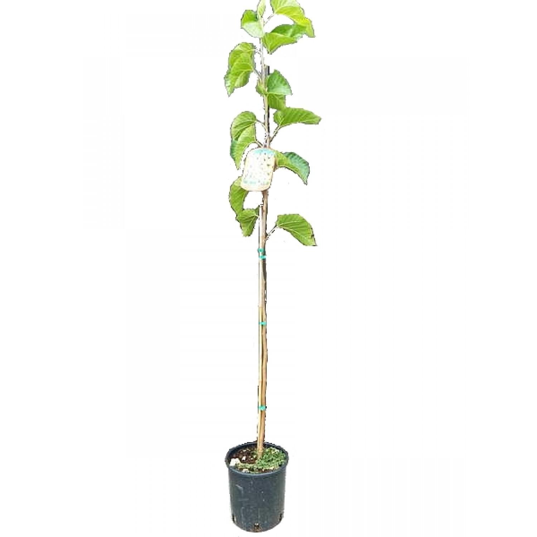 Μουριά Καρποφόρα Δέντρο - Άσπρα Μούρα (Morus alba)   kipogeorgiki.gr
