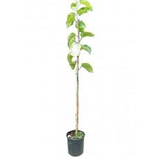 Μουριά Καρποφόρα Δέντρο - Άσπρα Μούρα (Morus alba)  |kipogeorgiki.gr