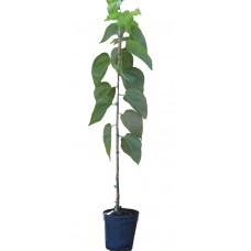 Μουριά Καρποφόρα Δέντρο - Μαύρα Μούρα (Morus nigra) | kipogeorgiki.gr
