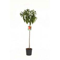 Νεκταρινιά Δέντρο (Prunus Persica Nectarina) | kipogeorgiki.gr