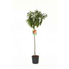 Ροδακινιά Δέντρο (Prunus persica) | kipogeorgiki.gr