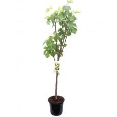 Συκιά Δέντρο (Ficus carica) |kipogeorgiki.gr