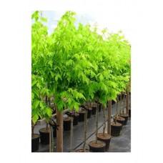 Σφενδάμι Δέντρο - Σφένδαμος (Acer negundo) | kipogeorgiki.gr
