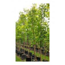 Σφένδαμος ο Πλατανοειδής Δέντρο (Acer platanoides) | kipogeorgiki.gr