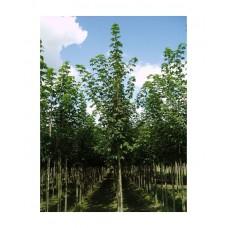 Σφένδαμος Ψευδοπλάτανος Δέντρο (Acer pseudoplatanus) | Φυτά