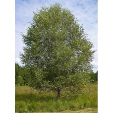 Σημύδα Δέντρο (Betula pubescens) | kipogeorgiki.gr