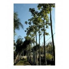 Βραχυχίτων Πλατανόφυλλος Δέντρο (Brachychiton platanofila)