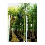 Βραχυχίτων Πλατανόφυλλος Δέντρο (Brachychiton platanofila)  | kipogeorgiki.gr