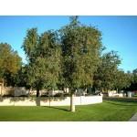 Βραχυχίτων Ετερόφυλλος Δέντρο (Brachychiton populneus) | kipogeorgiki.gr