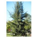 Καζουαρίνα Δέντρο (Casuarina equisetifolia) | kipogeorgiki.gr
