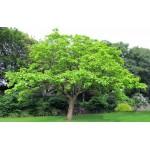 Κατάλπη Δέντρο (Catalpa bignonioides) | kipogeorgiki.gr