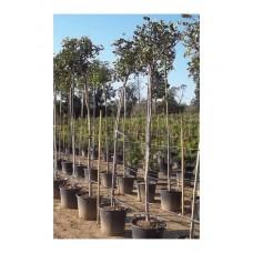 Χαρουπιά Δέντρο (Ceratonia siliqua)  |  kipogeorgiki.gr