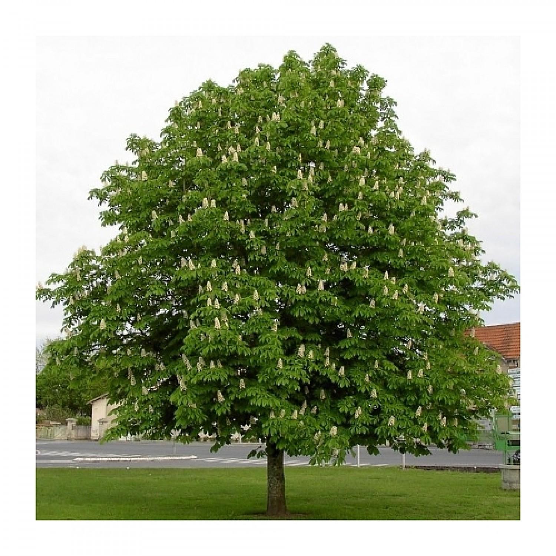 Ιπποκαστανιά Δέντρο (Aesculus hippocastanum)  |kipogeorgiki.gr