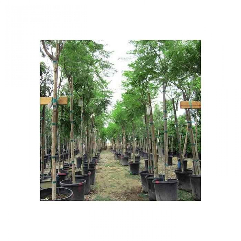 Γιακαράντα Δέντρο (Jacaranda mimosifolia) |kipogeorgiki.gr