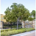 Καμφορά Δεντρο (Cinnamomum camphora) | kipogeorgiki.gr