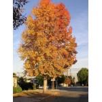Λικιδάμβαρη Δέντρο (Liquidambar styraciflua) | kipogeorgiki.gr