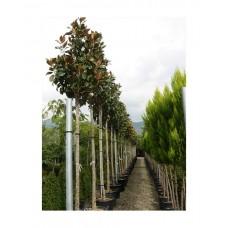 Μανόλια ή Μαγνόλια - Αειθαλής Μεγανθής Κορμός Δέντρο (Magnolia grandiflora) | Κηπογεωργική