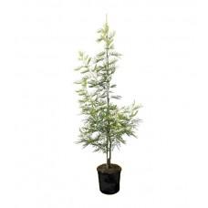 Μιμόζα Νικαίας Δέντρο (Acacia dealbata) | kipogeorgiki.gr