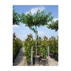 Μουριά Πλατανόφυλλη Δέντρο (Morus platanifolia) |kipogeorgiki.gr
