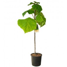 Παυλώνια Δέντρο (Paulownia tomentosa) |kipogeorgiki.gr