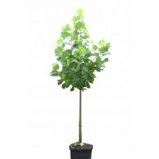Πλάτανος ο Δυτικός Δέντρο (Platanus occidentalis)  |  kipogeorgiki.gr