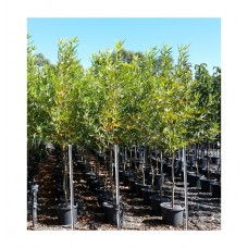 Πλάτανος ο Ανατολικός Δέντρο (Platanus orientalis) | kipogeorgiki.gr