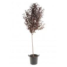 Προύνος ή Καλλωπιστική Δαμασκηνιά Δέντρο (Prunus cerasifera var. pissardii)  | kipogeorgiki.gr