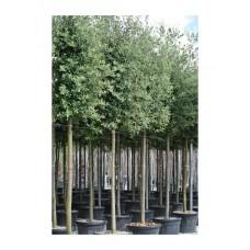Δρύς η Αριά Δέντρο - Βελανιδιά (Quercus ilex)  |  kipogeorgiki.gr