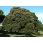 Δρύς η Αριά Δέντρο - Βελανιδιά (Quercus ilex)     kipogeorgiki.gr